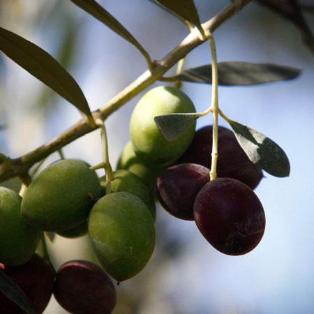 frantoio-salvagno-olivicultura
